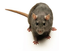 NYC Officials: 1 Person Dies, 2 Ill From Rat-Related Disease