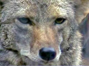 Police Issue Coyote Warning In Rockland County