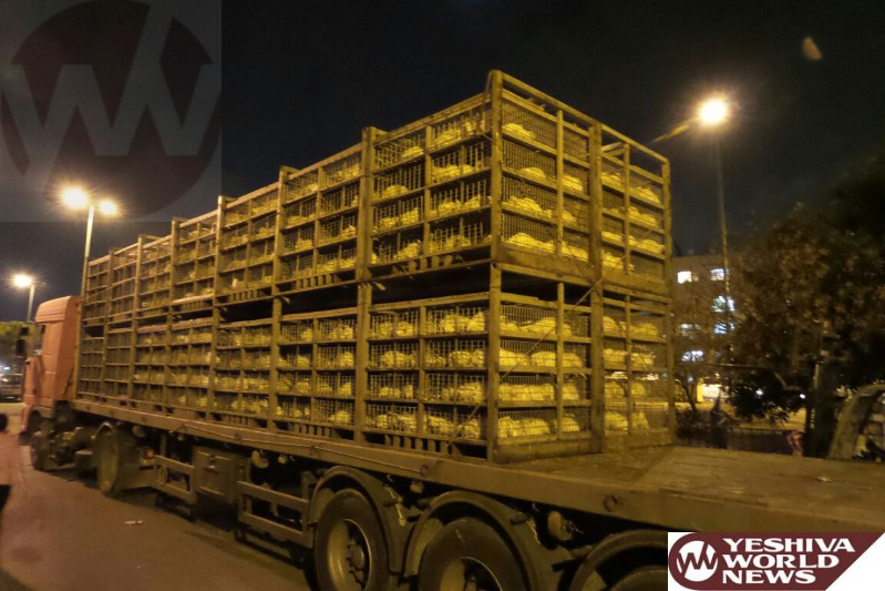 PHOTOS: First Chickens For Kapparos Arrive In Yerushalayim; After Government Refuses To Issue Permits [8:00PM IL]