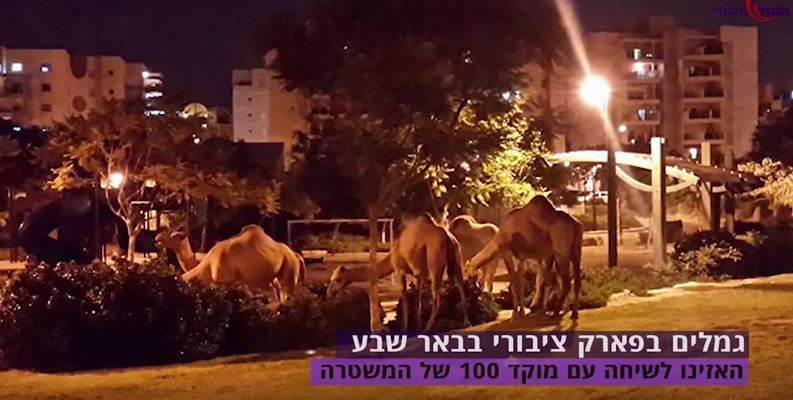 Beersheva: How Police Respond to a Report of Camels in a Public Park