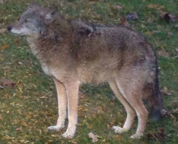 VIDEO: Rockland County: Ramapo Police Issue Warning About Coyote In Wesley Hills Area