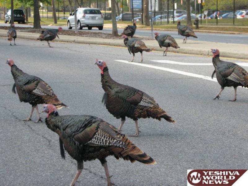 Too Many Turkeys: Staten Island Calls Foul Over Bird Woes