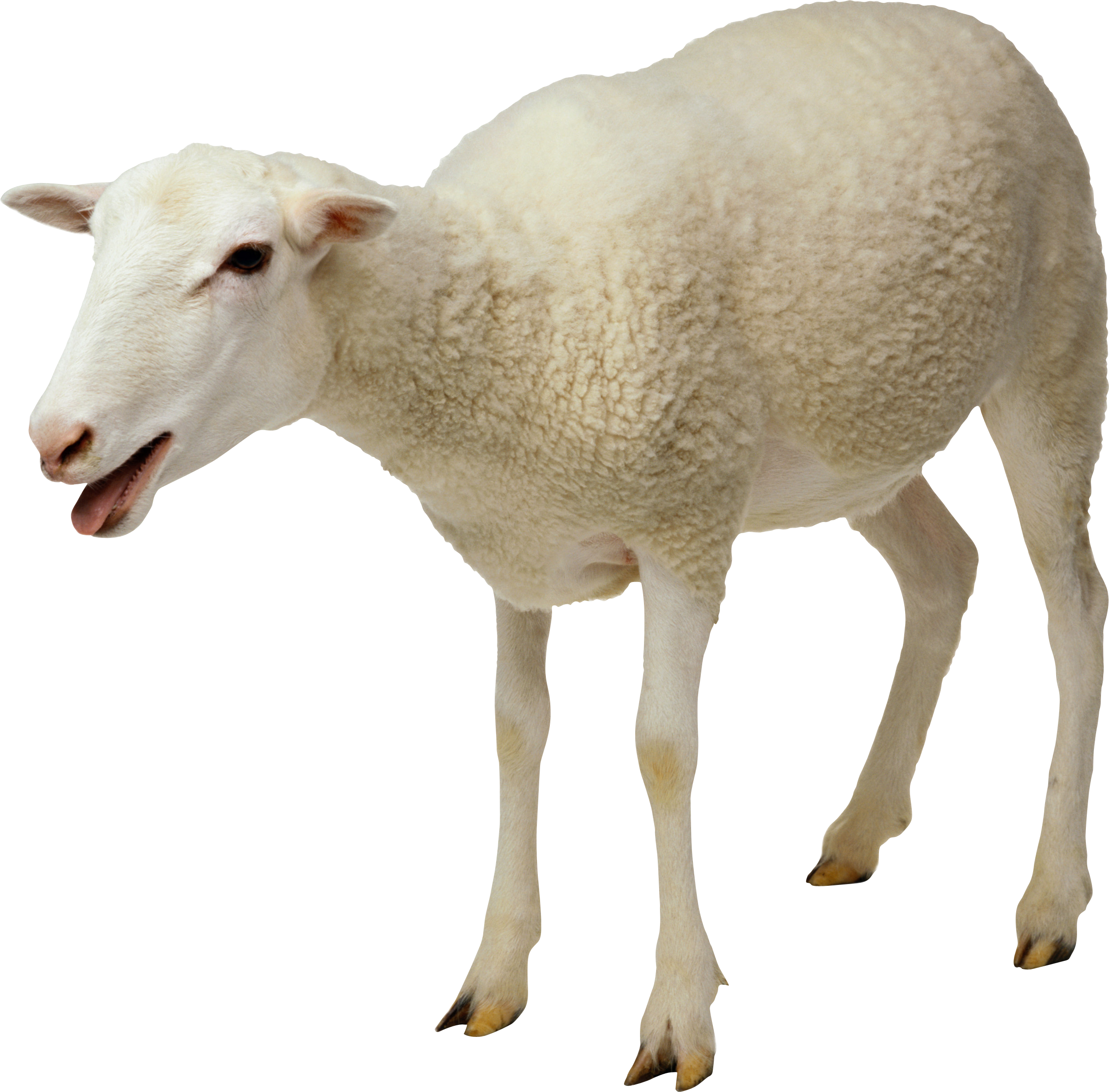sheep_png2718