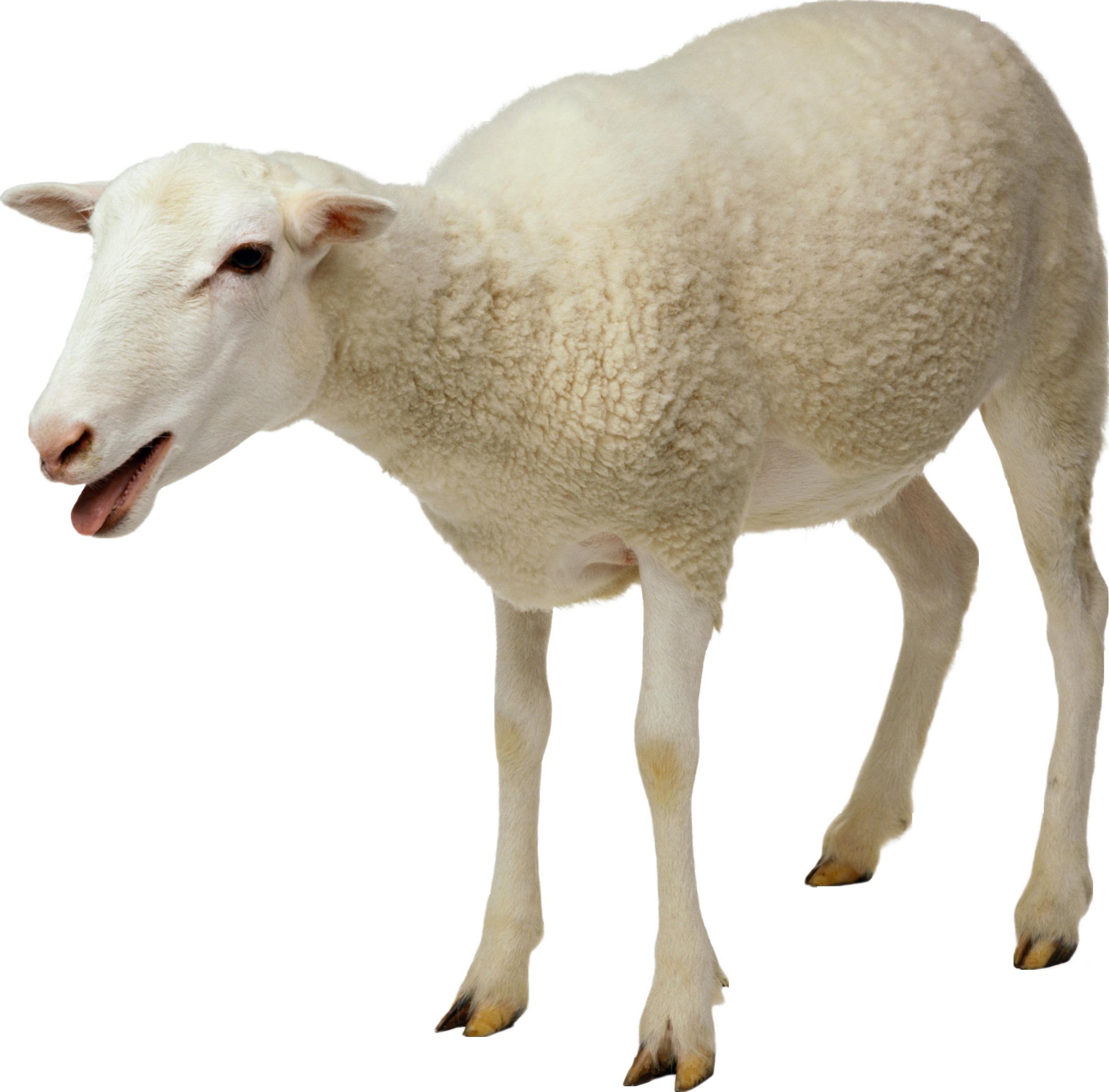 sheep_png2718