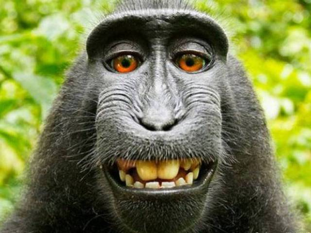 Court Rules Monkey Does Not Have Copyrights Over Selfies — Monkey Business